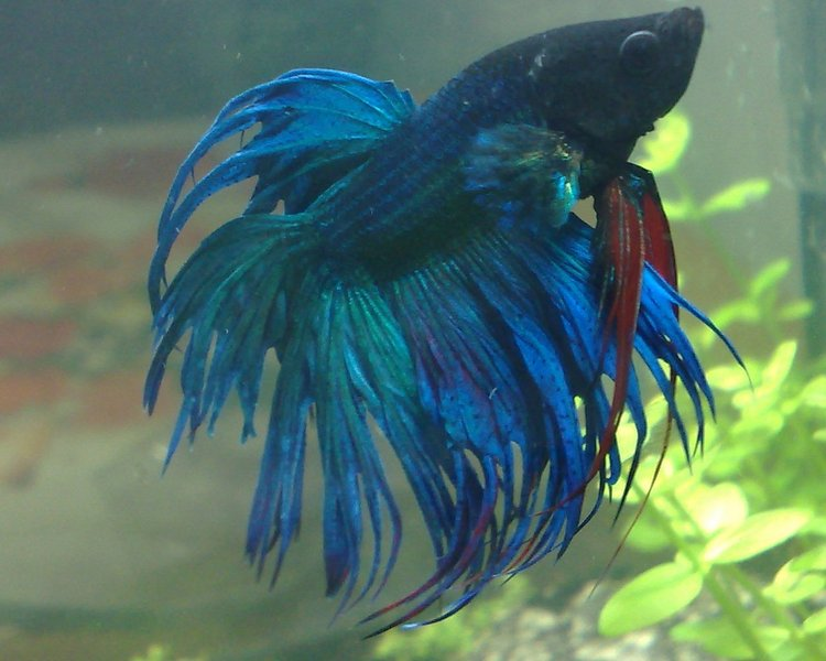Betta crowntail albastru